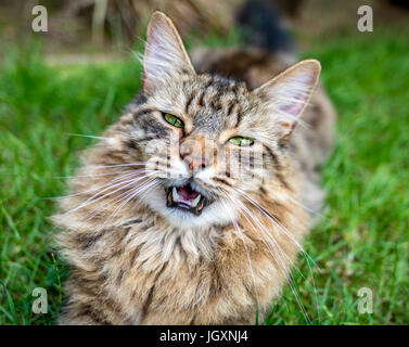 Long Haired Tabby Cat Laying On A Grass Lawn With Mouth Open. - Stock Photo