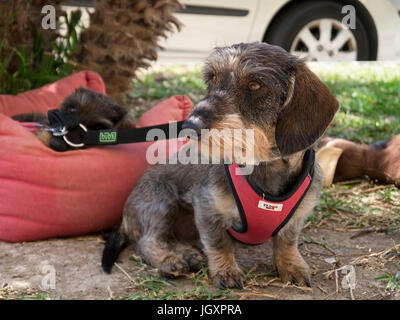 Wire haired Dachshund - Stock Photo