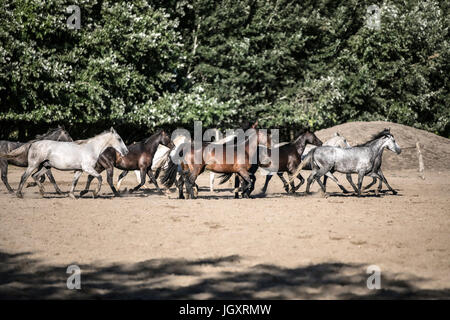 Purebred horses galloping through on animal farm summertime. Horse herd run gallop across animal farm in the dust - Stock Photo