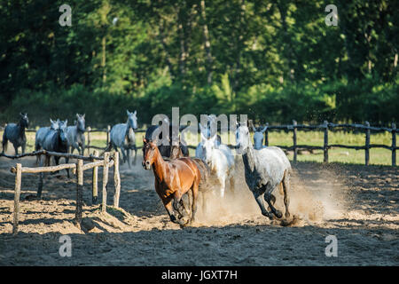 Horse herd run gallop across animal farm in the dust against green natural background - Stock Photo