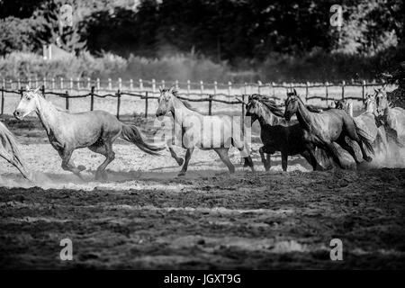 Herd of horses runs home in the sunset summertime black and white photo - Stock Photo