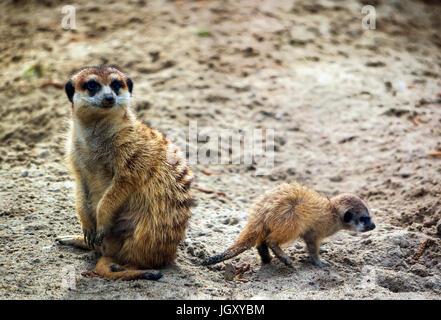 Meerkat, Suricata suricatta, also known as the suricate with a baby. Wildlife animal. - Stock Photo