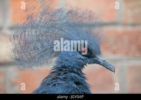 Western crowned pigeon (Goura cristata), also known as the blue crowned pigeon. - Stock Photo