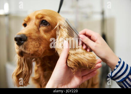 Hands of female groomer combing cocker spaniel's paw at ...