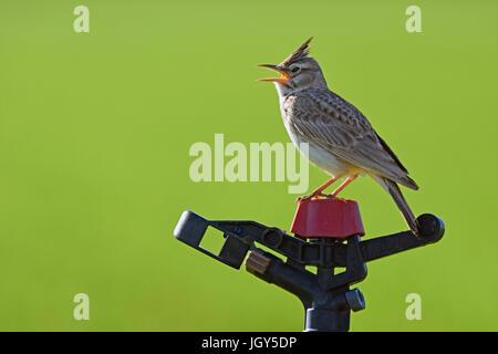 Crested lark sings on water sprinkler - Stock Photo