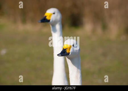 Pair of Bewick's swans at London Wetland Centre - Stock Photo