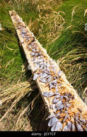 Goose Barnacles, Lepas anatifera attached to a wooden plank washed ashore at Newgale Sands in Pembrokeshire, Wales, - Stock Photo