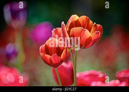 Three beautiful red tulips shot from a low point of view showing them springing and bursting open in the frame, - Stock Photo