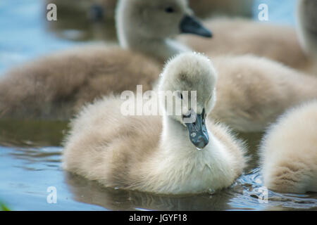 Beautiful Little or young swans on water - Stock Photo