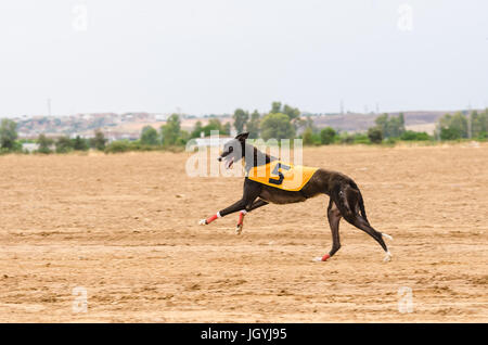 Spanish Greyhound running and looking at camera - Stock Photo
