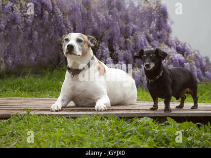 A tiny mini black dachshund dog stands on a wooden board with his best friend a white american staffordshire terrier, - Stock Photo
