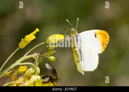 Provence Orange-tip (Anthocharis euphenoides) adult female. Chaîne des Alpilles, Bouches-du-Rhône, France. April. - Stock Photo