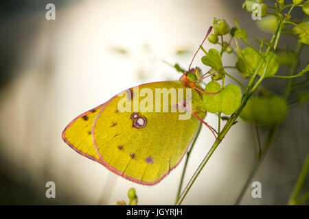 Clouded Yellow butterfly (Colias croceus) adult. On the Causse de Gramat, Lot Region, France. May. - Stock Photo