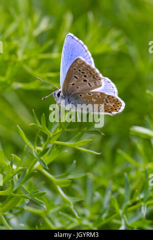 Adonis blue (Polyommatus bellargus) butterfly adult male. On the Causse de Gramat, Lot Region, France. May. - Stock Photo