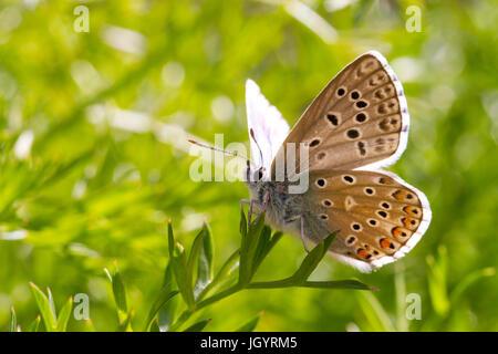 Adonis blue (Polyommatus bellargus) butterfly adult male underside of wings. On the Causse de Gramat, Lot Region, - Stock Photo
