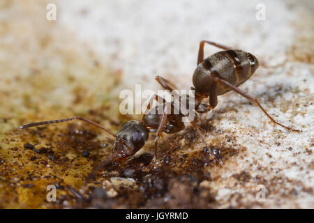 Ant Formica cunicularia adult worker drinking from a water droplet. On the Causse de Gramat, Lot Region, France. - Stock Photo