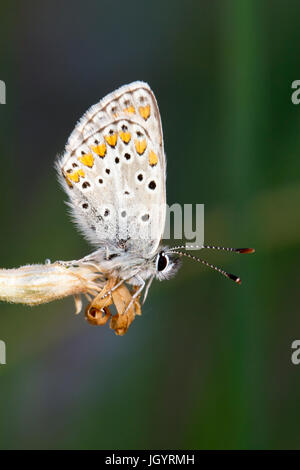Brown Argus (Aricia agestis) butterfly adult male roosting in the evening. On the Causse de Gramat, Lot Region, - Stock Photo