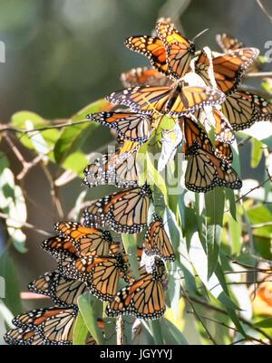 Monarch Butterfly (Danaus plexippus) Cluster - Stock Photo