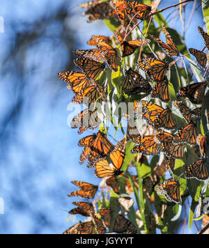 Monarch Butterfly (Danaus plexippus) Cluster - Stock Photo