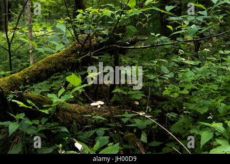 Fallen tree in the Bialowieza Forest Bialowieski Park Narodowy - Stock Photo