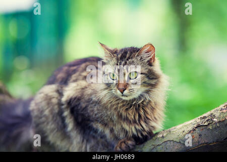 Siberian cat relaxing outdoors on the wooden log - Stock Photo