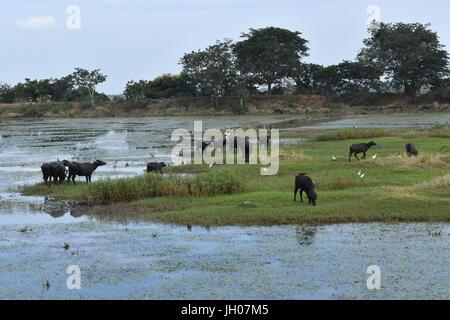 Indian Buffaloes