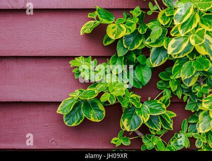 Evergreen euonymus climbing up a wall. - Stock Photo