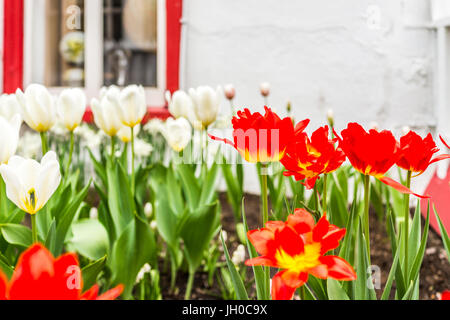 Macro closeup of orange and white tulips by European stone building in garden - Stock Photo