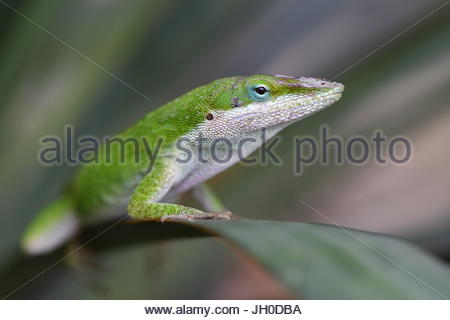 Anole lizard on leaf - Stock Photo