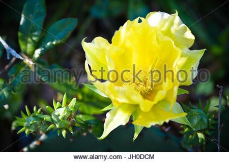 Yellow cactus flower in Texas - Stock Photo