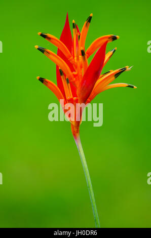 Heliconia psittacorum also called parrots beak on green background - Stock Photo