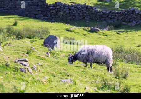 Herdwick Sheep Grazing on Green Grass - Stock Photo