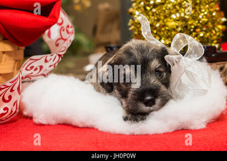 A Schnauzer puppy is all decked out for the holidays, sitting on a cloud of white fluff and surrounded by holiday - Stock Photo