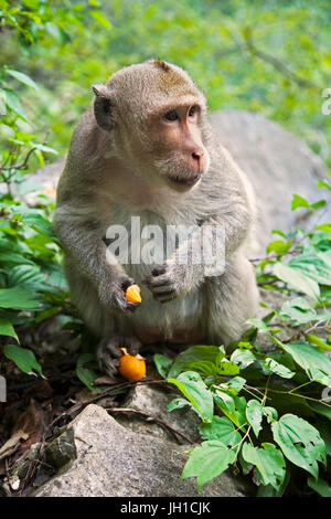 The Rhesus Macaque Macaca mulatta, is one of the best-known species of Old World monkeys.  Rhesus Macaques inhabit - Stock Photo