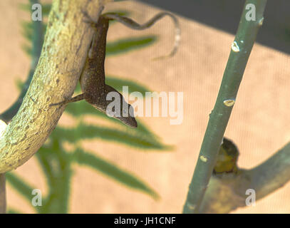 HDR Brown Cuban anole on a limb in Florida - Stock Photo