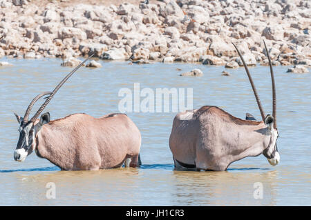 Two oryx bulls, also called gemsbok, one with a deformed horn, in a waterhole in Northern Namibia - Stock Photo