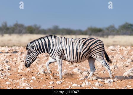 A pregnant Burchells zebra mare , Equus quagga burchellii, walking in red sand in Northern Namibia - Stock Photo