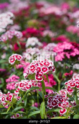 Dianthus barbatus. Sweet William flowers in Spring. - Stock Photo