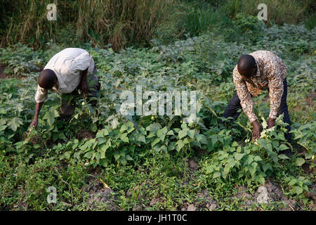 ENCOT microfinance branch manager Francis Buguma (right) harvesting with farmer client Apollo Byarunga. Uganda. - Stock Photo