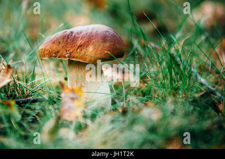 Boletus mushroom porcini growing in a moss and grass close up in forest of Belarus - Stock Photo