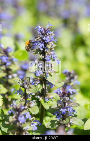 A bumblebee on a Bugle, blue bugle, bugleherb, bugleweed, carpetweed, carpet bugleweed or common bugle - Ajuga reptans - Stock Photo