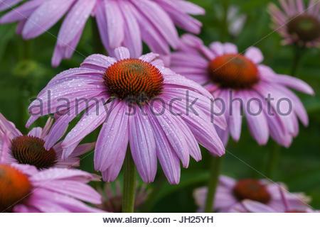 echinacea purpurea 39 magnus 39 coneflower 39 magnus 39 stock. Black Bedroom Furniture Sets. Home Design Ideas