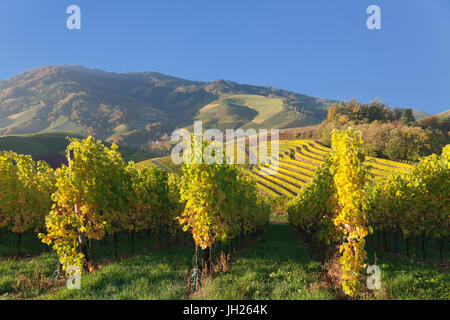 Vineyards in autumn, near Durbach, Black Forest, Baden Wurttemberg, Germany, Europe - Stock Photo