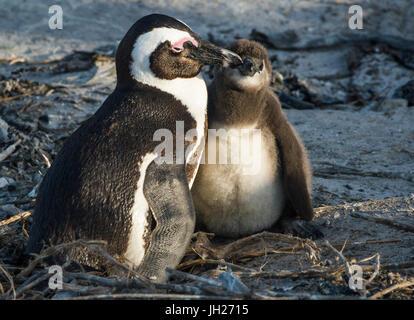 African penguins (jackass penguins) (Spheniscus demersus), Boulders Beach, Cape of Good Hope, South Africa, Africa - Stock Photo