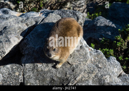 Rock hyrax (Procavia capensis) (dassie), Table Mountain, Cape Town, South Africa, Africa - Stock Photo