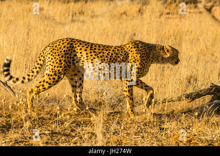 South African cheetah (Acinonyx jubatus jubatus), Kalahari Transfrontier Park, South Africa, Africa - Stock Photo