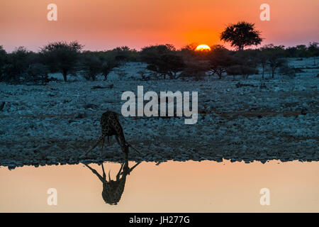 Giraffe reflected in the water of a waterhole, Okaukuejo Rest Camp, Etosha National Park, Namibia, Africa - Stock Photo
