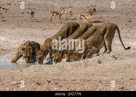 Lions (Panthera leo) at a waterhole in the Etosha National Park, Namibia, Africa - Stock Photo