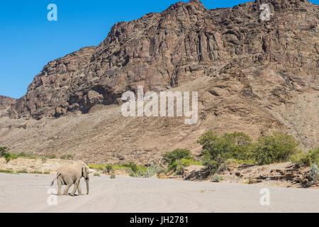 Desert elephant (African bush elephant) (Loxodonta africana), Khurab Reserve, northern Namibia, Africa - Stock Photo