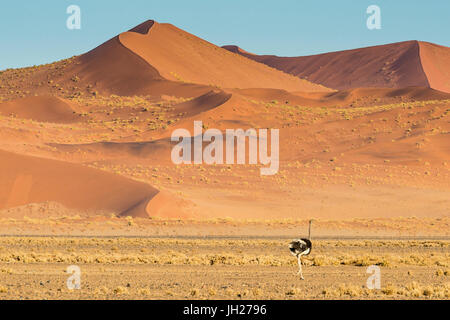 Ostrich wandering in front of a giant sand dune, Sossusvlei, Namib-Naukluft National Park, Namibia, Africa - Stock Photo